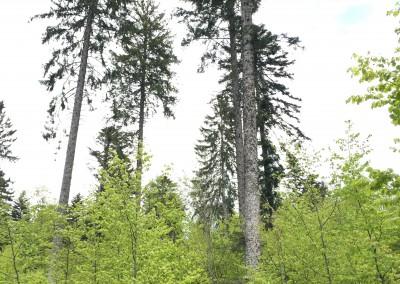 LA VIEILLE FUTAIE - le rajeunissement (terme global pour le recrû et le fourré) est installé sous les vieux arbres qui n'ont plus qu'à être récoltés.