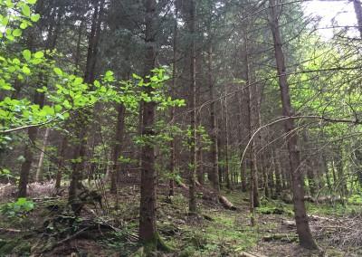 LE PERCHIS - comme son nom l'indique, c'est le stade où l'on prélève les perches (les branches sèches atteignent la hauteur d'un homme)