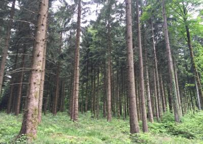 LA JEUNE FUTAIE - les arbres atteignent 30 cm de diamètre et comme les stades précédents les interventions sont concentrées pour favoriser la qualité et la croissance des arbres sélectionnées
